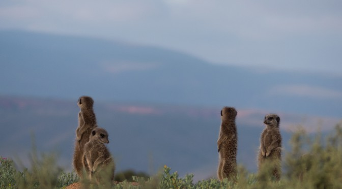 Meerkats at sunrise